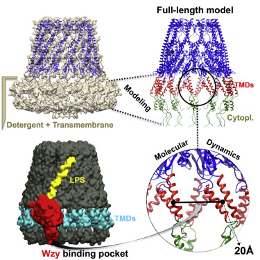 Full-length, Oligomeric Structure of Wzz Determined by