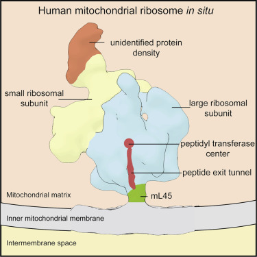 Structure Of The Human Mitochondrial Ribosome Studied In