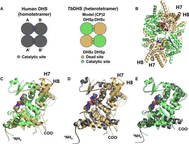 Trypanosomatid Deoxyhypusine Synthase Activity Is Dependent On