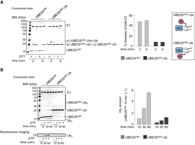 Autoinhibition Mechanism of the Ubiquitin-Conjugating Enzyme UBE2S