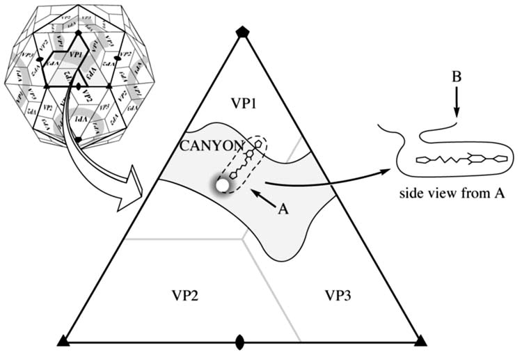 Human Rhinovirus 3 At 3 0 A Resolution Sciencedirect