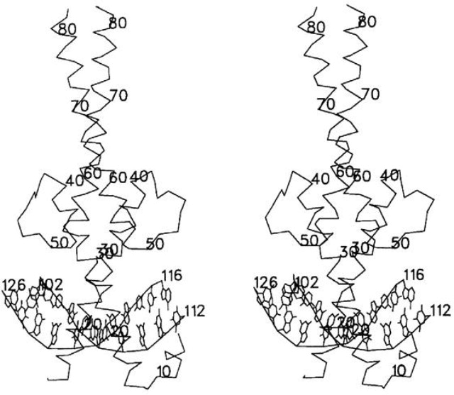 The Crystal Structure Of An Intact Human Maxdna Complex New