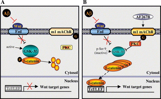 「amyloid Wnt m1achr」の画像検索結果
