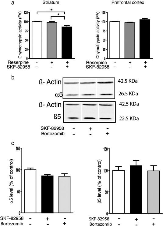 D1 dopamine receptor stimulation impairs striatal proteasome