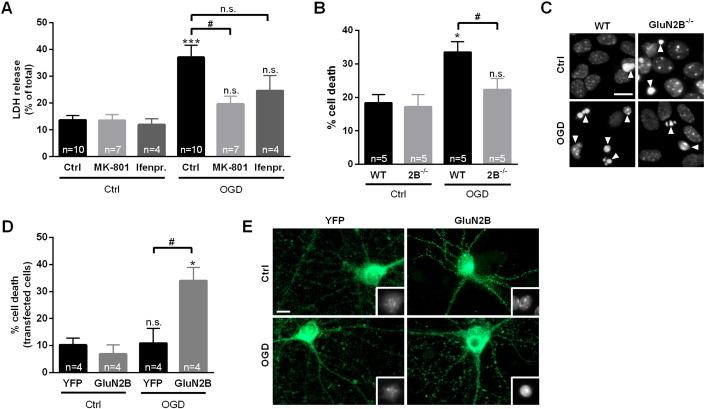 Multiple domains in the C-terminus of NMDA receptor GluN2B