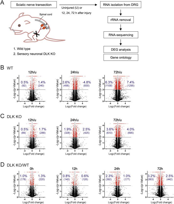 DLK regulates a distinctive transcriptional regeneration program