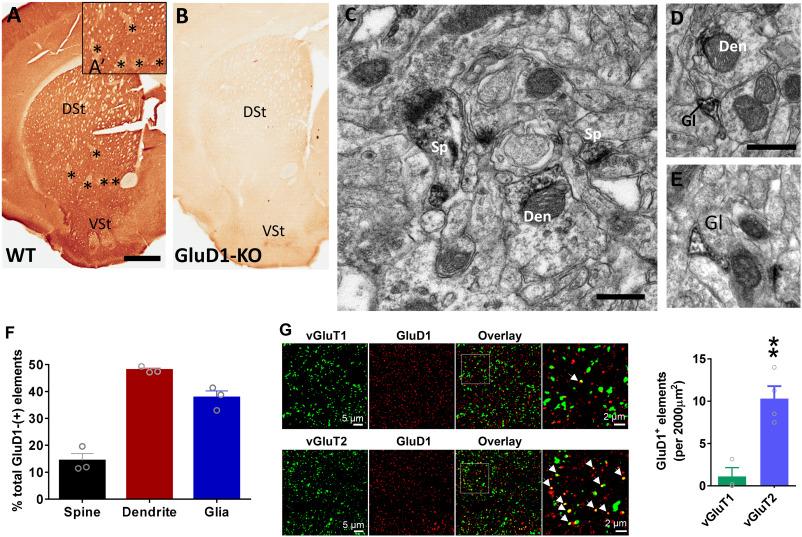 Striatal Glutamate Delta 1 Receptor Regulates Behavioral