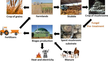 Mushroom cultivation and biogas production: A sustainable reuse of