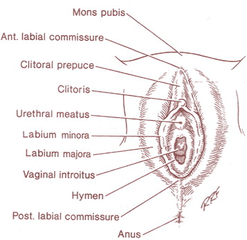 Current Trends In Female Genital Cosmetic Surgery Sciencedirect