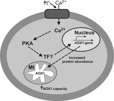 The Chlamydomonas Reinhardtii Alternative Oxidase 1 Is Regulated By