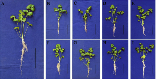 Elevated CO2 induces alteration in lignin accumulation in celery