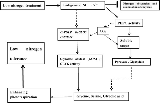 Enhanced Photorespiration In Transgenic Rice Over Expressing Maize