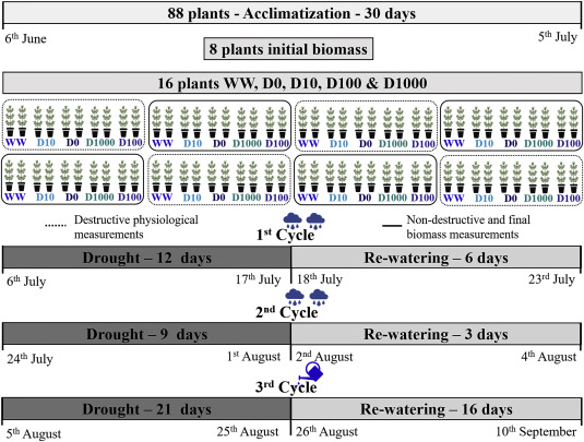 Salicylic acid increases drought adaptability of young olive