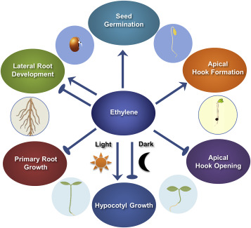 Role Of Ethylene Crosstalk In Seed Germination And Early Seedling Development A Review Sciencedirect
