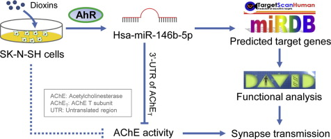 Dioxin induces expression of hsa-miR-146b-5p in human neuroblastoma