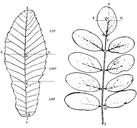 Leaf Morphology Correlates With Water And Light Availability What