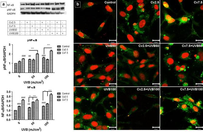 In vitro studies on the mechanisms involved in