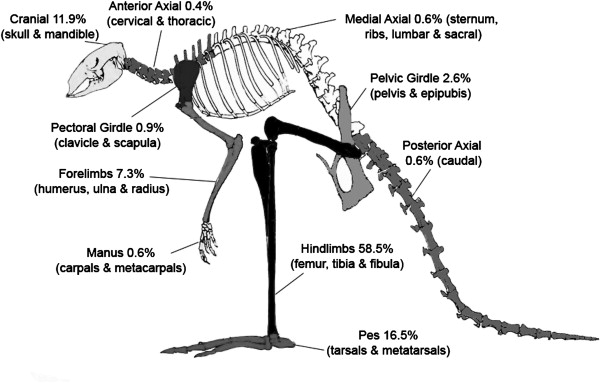 Economic anatomy of the bennetts wallaby macropus rufogriseus outline of bennetts wallaby skeleton with the frequency of the 10 body parts from kutikina southwest tasmania adapted from hume et al 1987 ccuart Choice Image