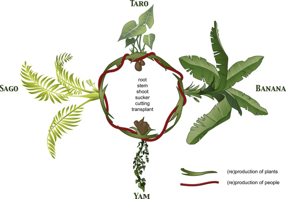 What plants reproduce asexually examples of metaphors