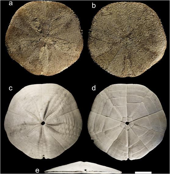 Phylum Echinodermata Sand Dollar