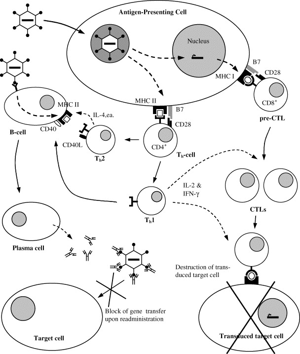 Immune Responses Against Adenoviral Vectors And Their Transgene