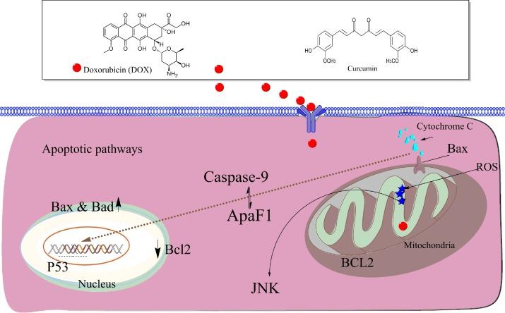 Protective effects of curcumin against doxorubicin-induced