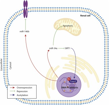 Role of epigenetic mechanisms in cisplatin-induced toxicity