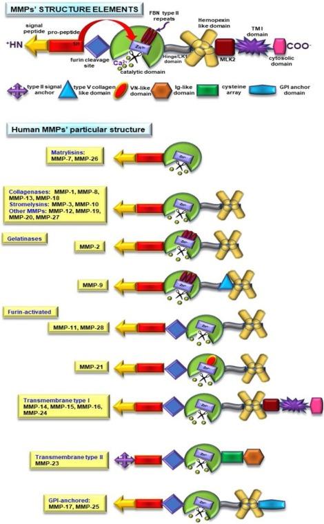 Matrix metalloproteinases participation in the metastatic