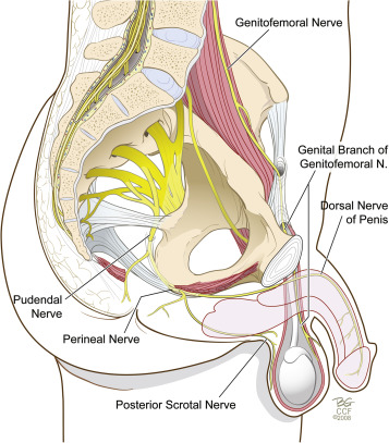 Anatomy and physiology: Neurologic basis for the function of sacral ...
