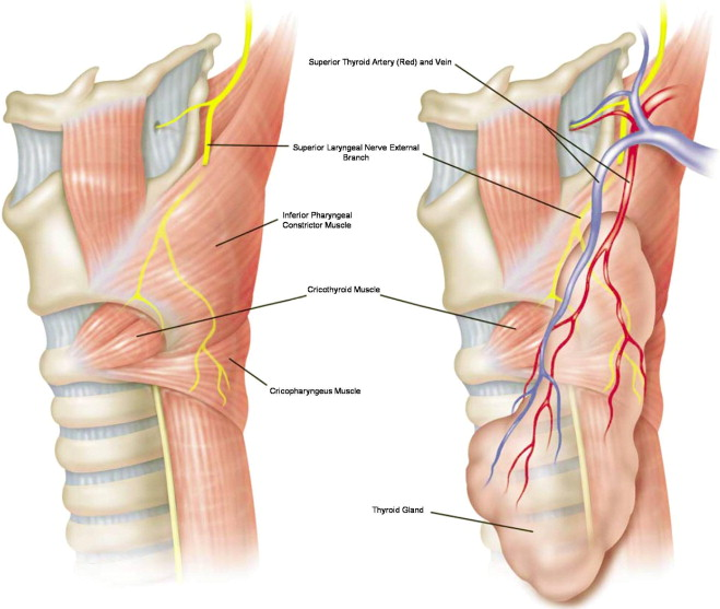 Superior laryngeal nerve identification and preservation in ...