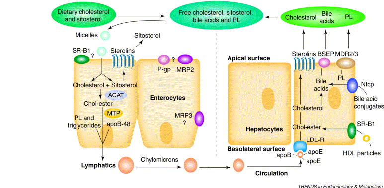 where does dietary cholesterol come from