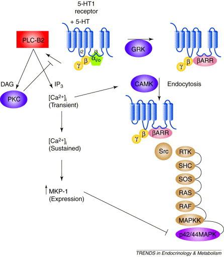 5-HT1 receptor