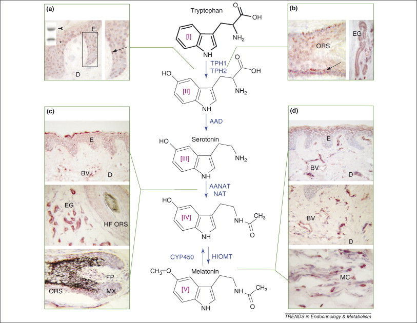 Melatonin in the skin: synthesis, metabolism and functions