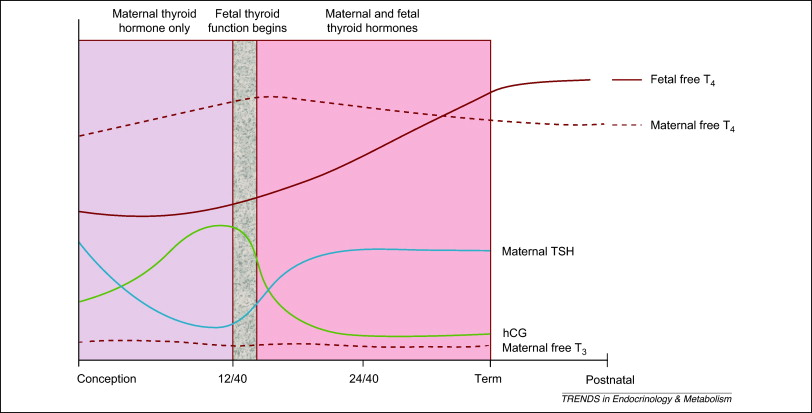 Delivery Of Maternal Thyroid Hormones To The Fetus Sciencedirect