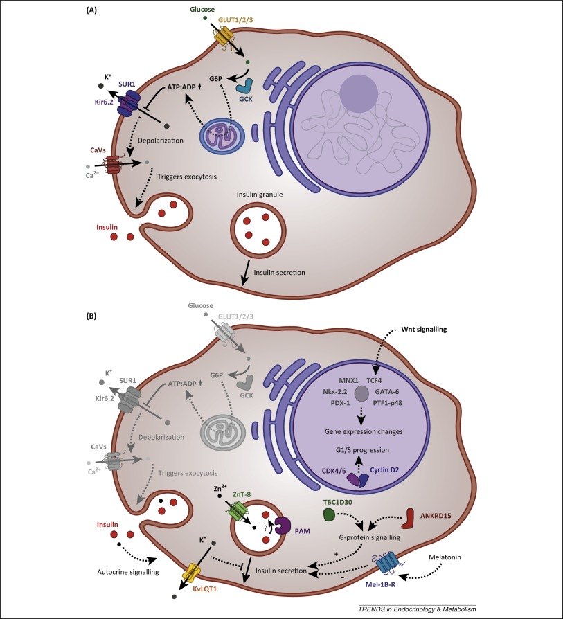 The pancreatic β cell: recent insights from human genetics ...