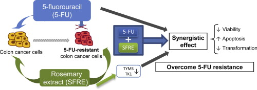 Antitumor Effect Of 5 Fluorouracil Is Enhanced By Rosemary Extract In Both Drug Sensitive And Resistant Colon Cancer Cells Sciencedirect