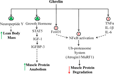 Skeletal muscle atrophy: Potential therapeutic agents and