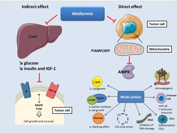 Metformin: An anti-diabetic drug to fight cancer - ScienceDirect