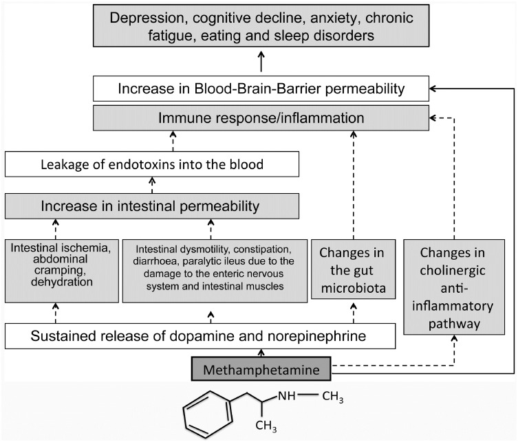 Methamphetamine: Effects on the brain, gut and immune system
