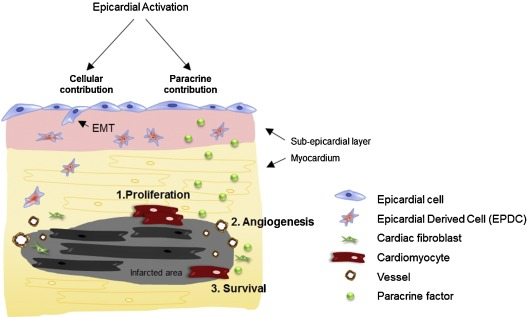 The epicardium as a source of multipotent adult cardiac progenitor fig 2 ccuart Choice Image