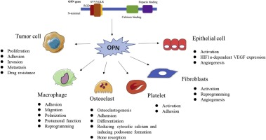 Osteopontin as a multifaceted driver of bone metastasis and