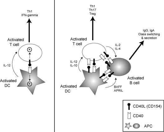 Cd40l In Dendritic Cells