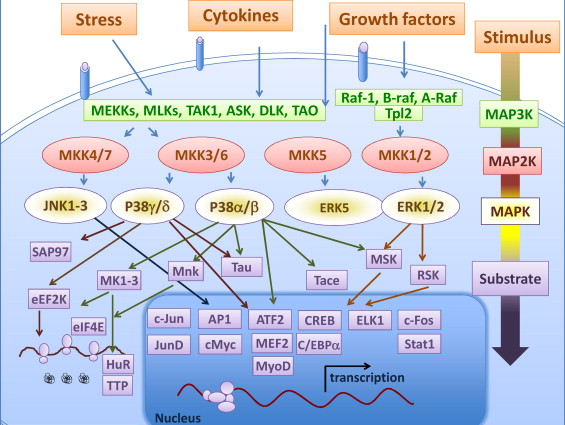 TNF and MAP kinase signalling pathways - ScienceDirect Map K on