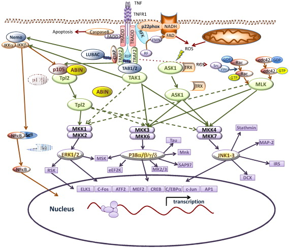 TNF and MAP kinase signalling pathways - ScienceDirect Map Kinase Cascade on cyclic adenosine monophosphate, mapk/erk pathway, apoptosis cascade, c-jun n-terminal kinases, jak-stat signaling pathway, protein kinase, adenylate cyclase, pi3k/akt/mtor pathway, protein kinase c, wnt signaling pathway, signal transduction, protein kinase cascade, tyrosine kinase, cyclin-dependent kinase, notch signaling pathway, amyloid cascade, signal transduction pathway cascade, receptor tyrosine kinase, tgf beta signaling pathway, caspase cascade,