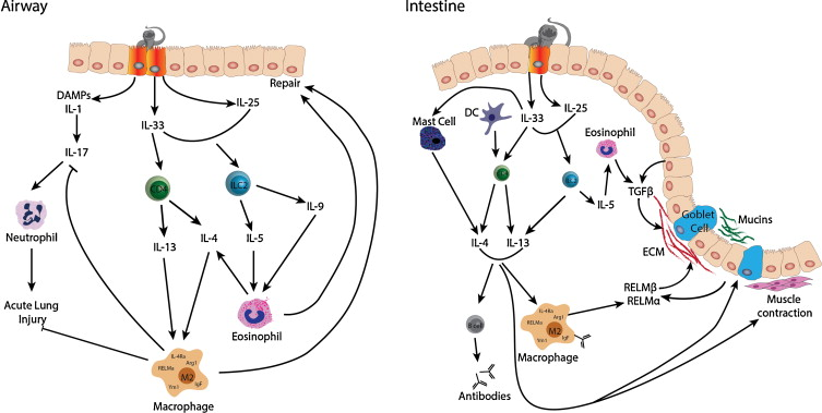 helminth infection antibodies