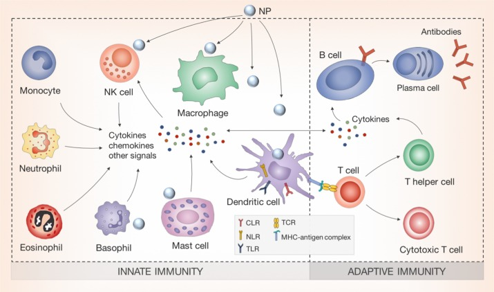 Nanoparticle Impact On Innate Immune Cell Pattern Recognition