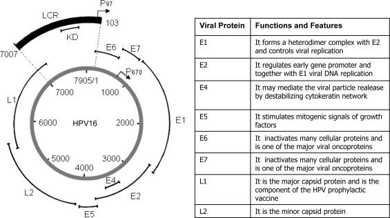 human papillomavirus function)