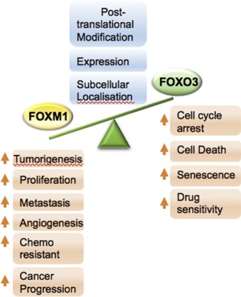 The FOXO3-FOXM1 axis: A key cancer drug target and a modulator of