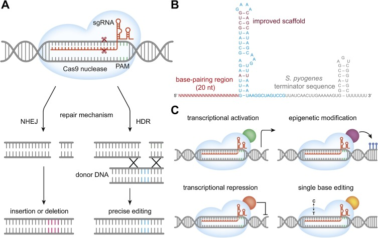 CRISPR/Cas9 for cancer research and therapy - ScienceDirect