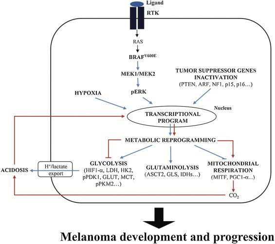 Metabolic flexibility in melanoma: a potential therapeutic target